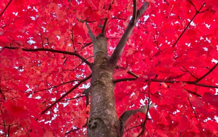 Best Maple Trees Fall Color